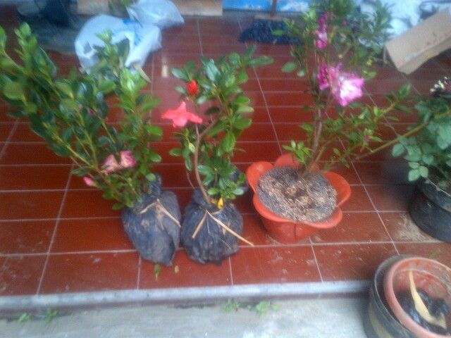 for sale azalea