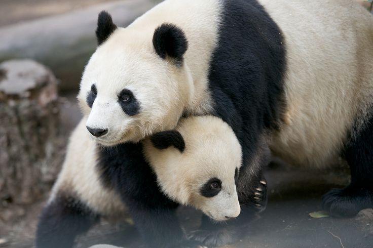 Giant panda biography
