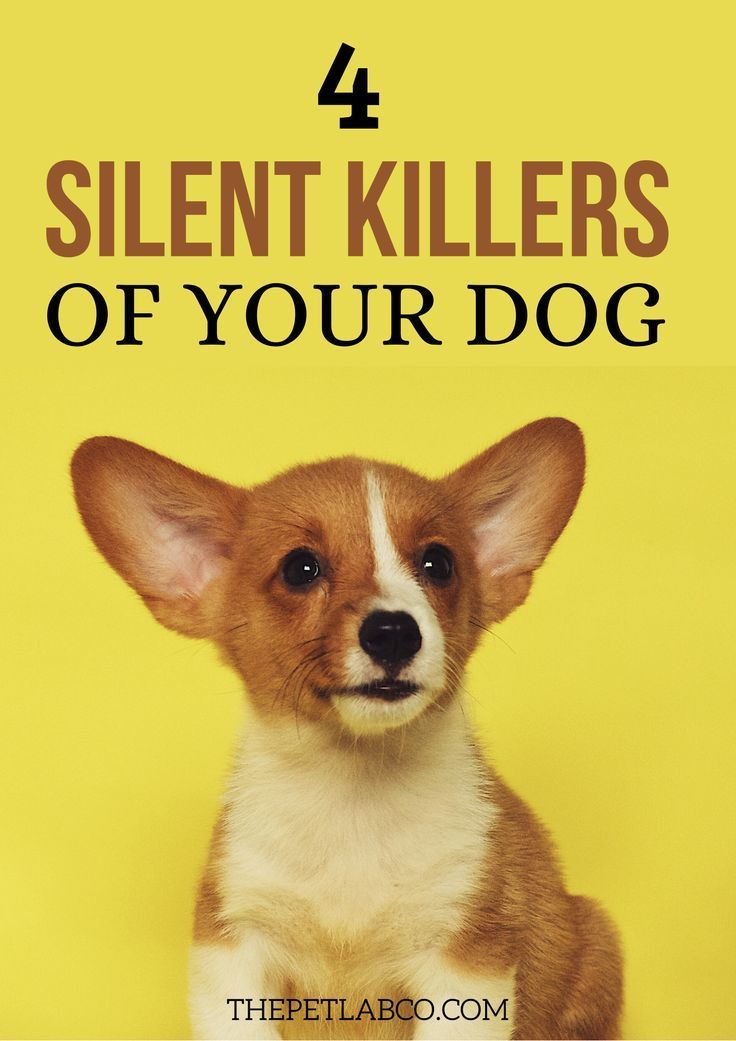 4 Silent Killers That Every Dog Owner Needs To Know Dogs Dog