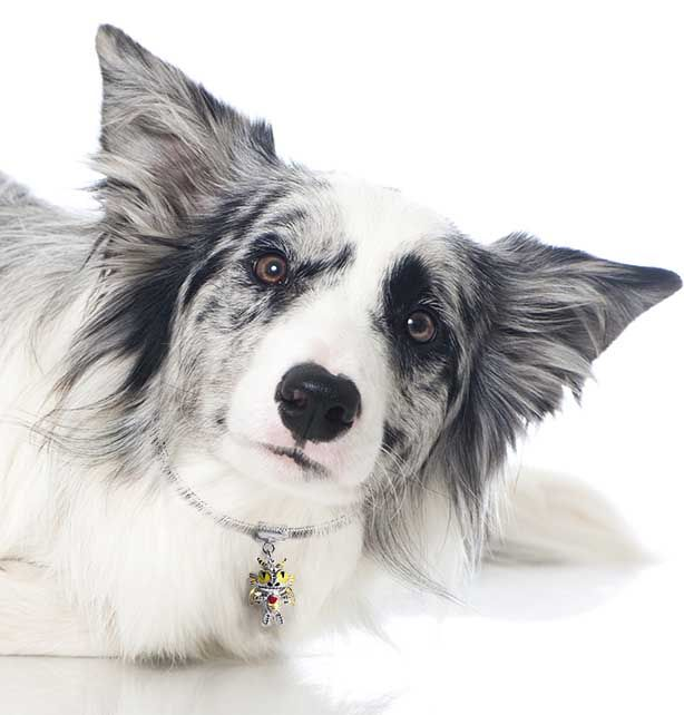 A little Dragonling Pendant modelled by our gorgeous Collie dog. http://www.inutijewellery.co.uk/frightling-doranth-dragonling.html