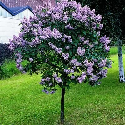 Persian Lilac Tree as your Tree Form Persian Lilacs grow and mature, keep them trimmed to a height of 5-8'. We send 3-4' trees. Attracts butterflies and hummingbirds, good for cutting.