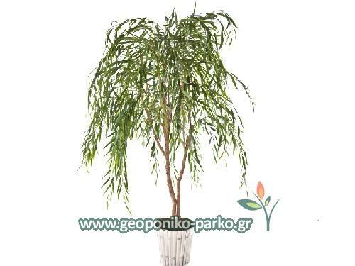 Ανθοφόρα - Καλλωπιστικά δέντρα : Ιτιά κλαίουσα δέντρο - Salix babylonica