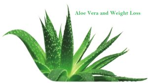 Since last few years, weight loss benefits of aloevera juice came into light. With increasing popularity, many brands offering aloevera juice. Now, aloevera weight loss drink is quite popular in India as well as foreign countries. Many of you have mainly three questions