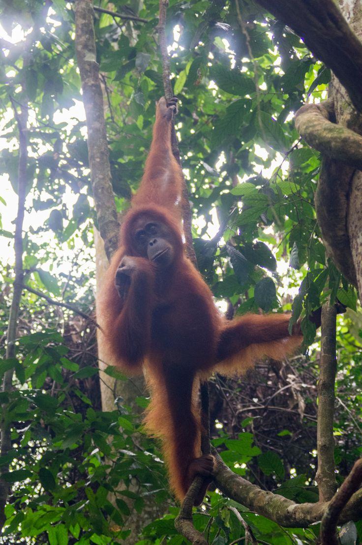 Orangutang in the wild, Gunung Leuser National Park, Sumatra, Indonesia