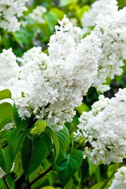 Lilak pospolity 'Madame Lemoine' - jedna z najsłynniejszych francuskich odmian przełomu XIX i XX wieku. Odporna i niezawodna. Białe kwiaty