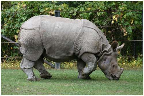Javan Rhinoceros- what a beautiful, ancient looking creature