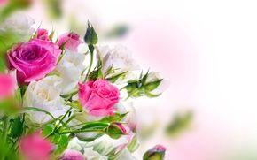 Обои цветы, розы, белые, цветущие, розовые, розы, красивые, бутоны