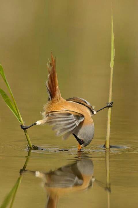 Che atleta! Pájaro tomando agua