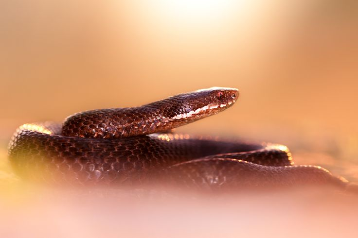 Common adder - Female common adder (Vipera berus) in Rodnei Mountains