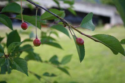 Planter i bestemors hage: Skyggekirsebær