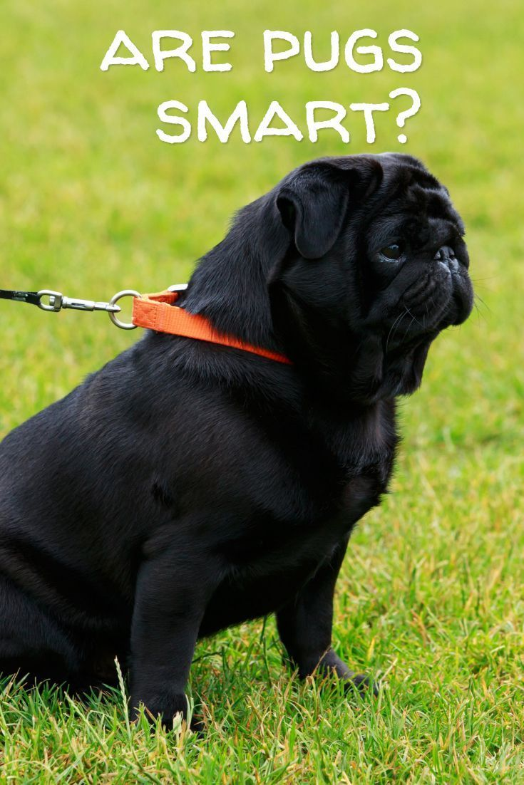 Pin By James Roberson On Pugs Pugs Pug Facts Dogs