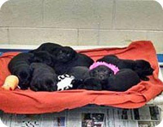 Chantilly, VA - Labrador Retriever Mix. Meet Lab Pups 1, a puppy for adoption. http://www.adoptapet.com/pet/17065052-chantilly-virginia-labrador-retriever-mix
