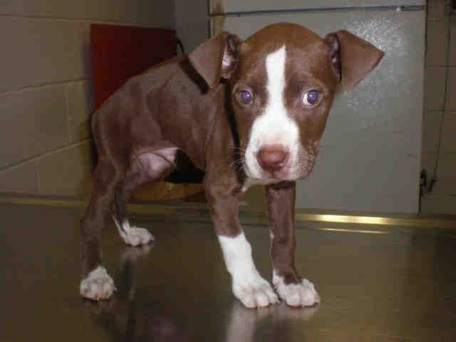 American Pit Bull Terrier dog for Adoption in Peoria, IL. ADN-754373 on PuppyFinder.com Gender: Male. Age: Baby #PitBull