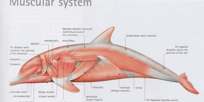 Image result for dolphin anatomy | Dolphins Marine ...