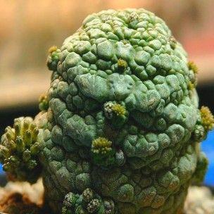 8 best cactus et succulentes images on pinterest cactus. Black Bedroom Furniture Sets. Home Design Ideas