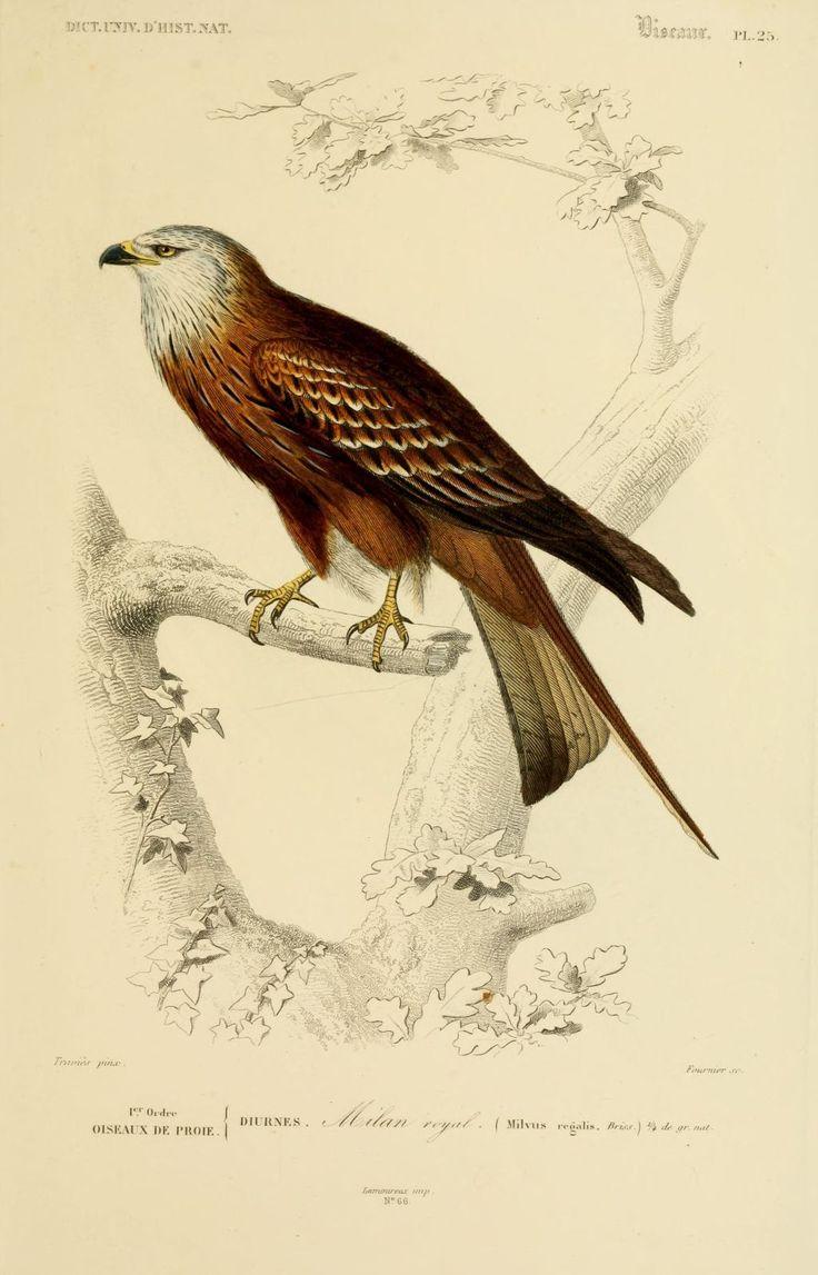 Gravures couleur d 39 oiseaux gravure oiseau 0161 milan for Oiseau couleur