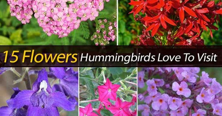 Hummingbirds make wonderful additions to the garden. Hummingbird flowers and a feederwill help attract them to the garden. But, there are plants like these 15 we can call thehummingbird favorite flowers.The presence of birds, especially the hummingbirds, is a beautiful thing that we all want to see in our surrounding. Their humming sounds bring the …