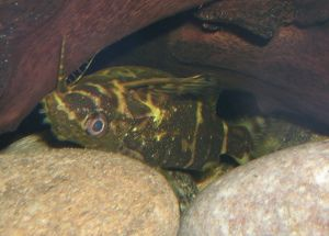 Upside Down Catfish (Synodontis nigriventris)