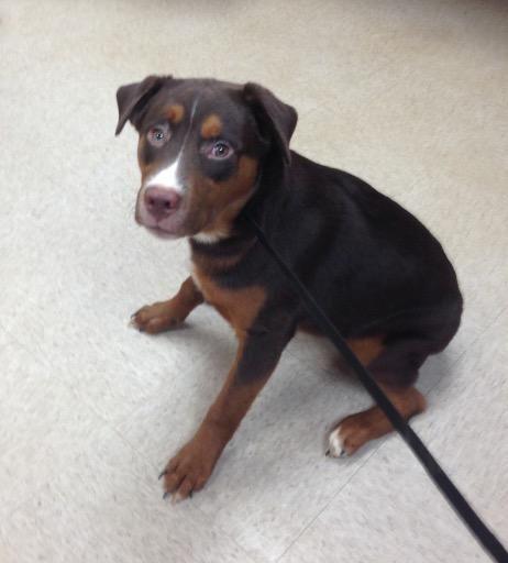 Labrador Retriever dog for Adoption in Bauxite, AR. ADN-644000 on PuppyFinder.com Gender: Male. Age: Young