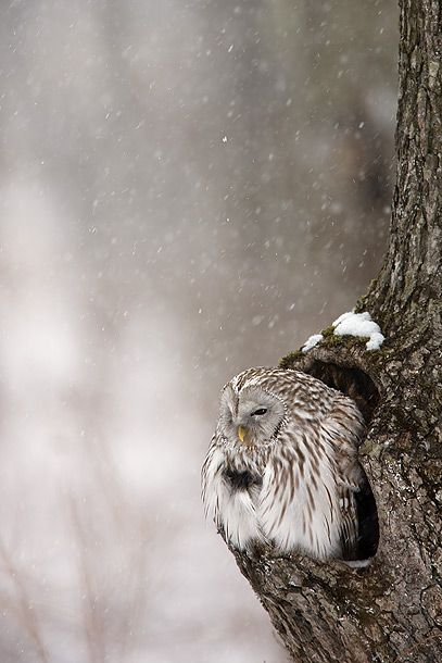 Winter Owl.Friends, Winter, Nature, Beautiful, Snowy Owls, Trees, Nests, Birds, Animal