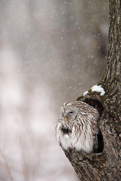 brrr.: Animals, Winter, Nature, Tree, Beautiful, Snow Owl, Birds, Owls, Photography
