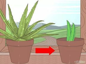 Image intitulée Grow and Use Aloe Vera for Medicinal Purposes Step 5