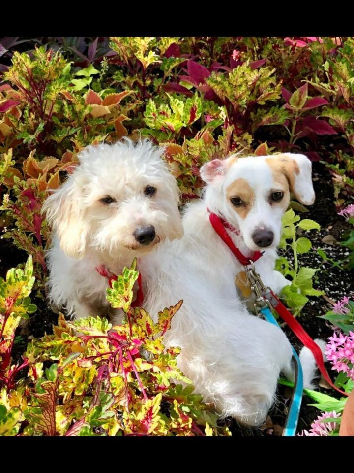 Poo Mix Rescue Available Dogs Dogs Poodle Mix Dogs Paws Rescue