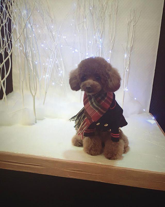 🧣 . エルおかえり☺️✨ 可愛くしてもらって今月のセットで撮影❣️ @bulbubu さんで狙ってた コート🧥をやっとゲット∠( 'ω')/ . #トイプードル #トイプードル男の子 #トイプードルレッド #プードル #ふわもこ部 #犬のいる暮らし #親ばか部 #わんこなしでは生きていけません会  #犬のいる生活 #タイニープードル #ティーカッププードル #可愛い #愛犬 #プードル部 #犬なしでは生きていけない #犬服 #ドッグウェア #犬の洋服#トリミング  #おしゃれわんこ #おしゃれカット #いぬすたぐらむ #toypoodle  #エレdog #ブルブブ