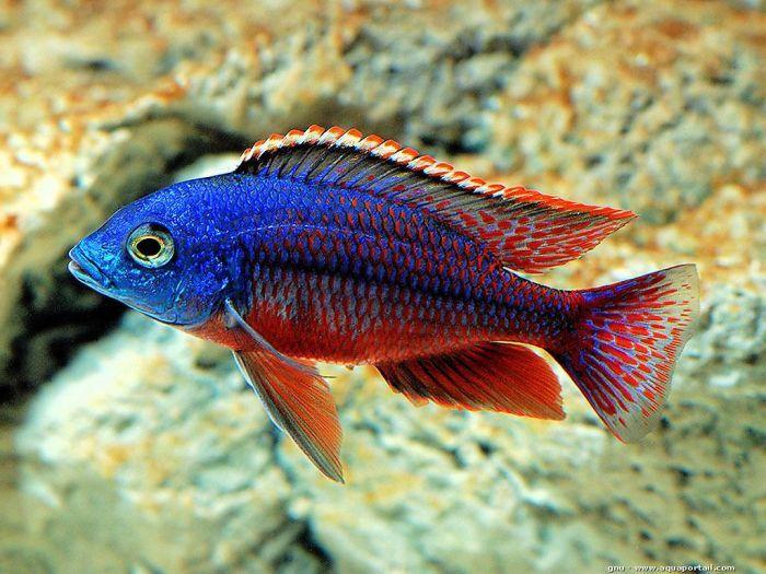 Protomelas Taeniolatus Aquarium Fish Freshwater Aquarium Fish African Cichlids