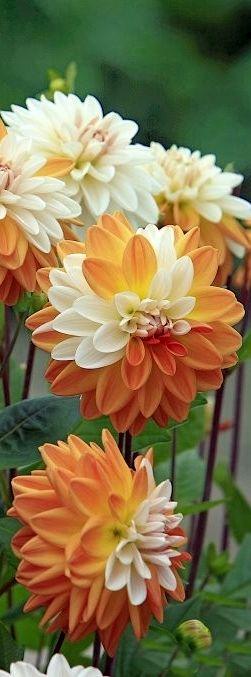 Orange Cream Dahlias Kinda look like Longhorn Flowers ;)
