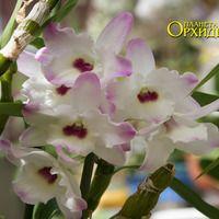 Уход за Дендробиум. Выращивание орхидеи в доме