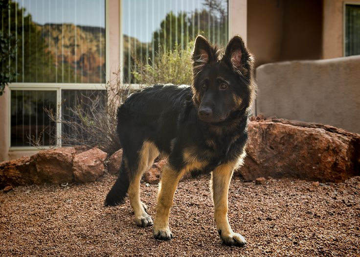 Black German Shepherd Puppies Houston Ideas