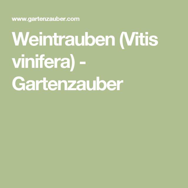 Weintrauben (Vitis vinifera) - Gartenzauber