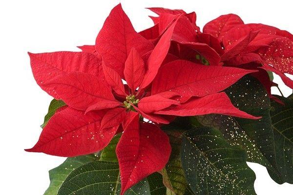 Gwiazda betlejemska (poinsecja, wilczomlecz nadobny): kwiat bożonarodzeniowy