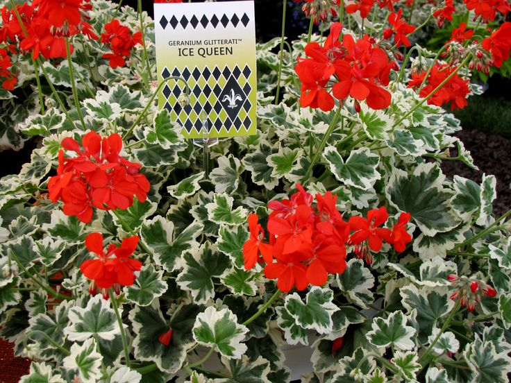 Ice Queen is a variegated geranium, new in 2015. Find it in the Show's Entry Garden and bring some home for your porch or sunroom.