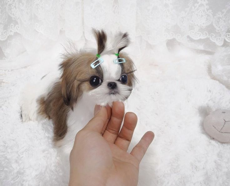 miniature shih tzu full grown 199 best images about tiniest puppies on pinterest 4824