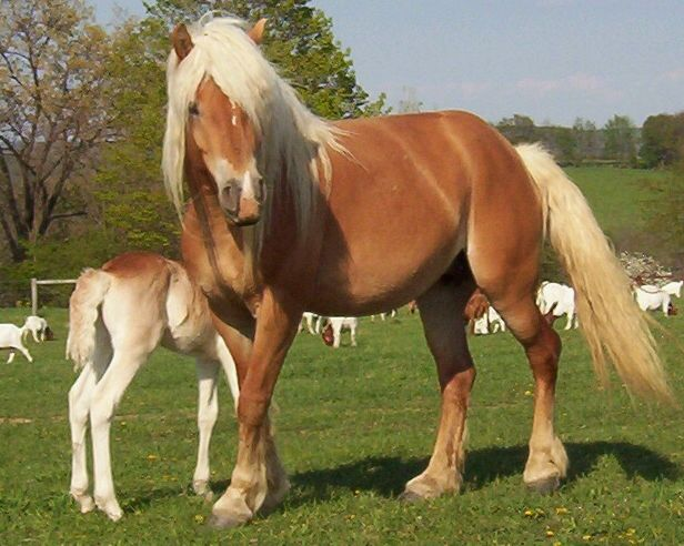Haflinger horses, this is the breed I will get