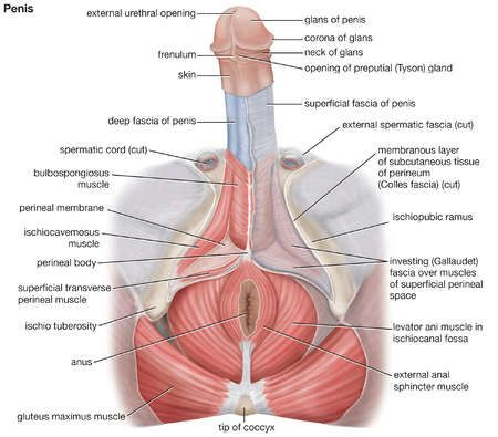 Male Pelvic Floor Diagram Wiring Circuit