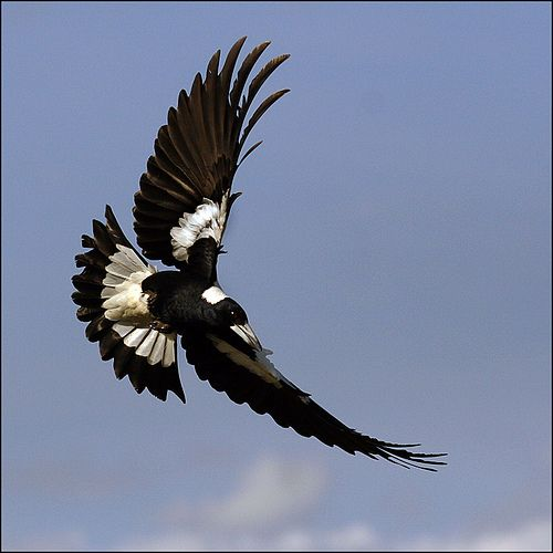 roger keagle swooping magpie birds in flight pinterest