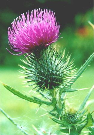 simple thistle drawing - Google Search