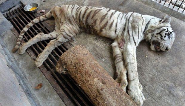 #Harimau Putih Kebun #Binatang #Surabaya #Mati [lagi & lagi]. Kembalikan mereka ke habitatnya.  #TutupKebunBinatangSurabaya #KBS #AnimalsDefender