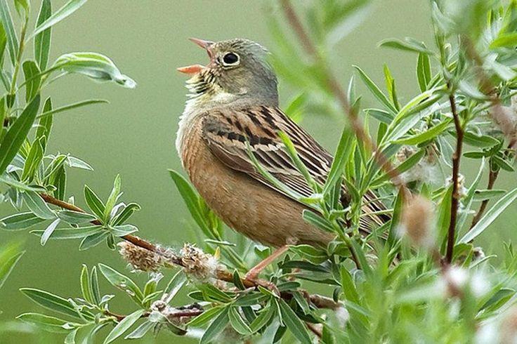 Identify Bird Calls and Songs - Birding by Ear