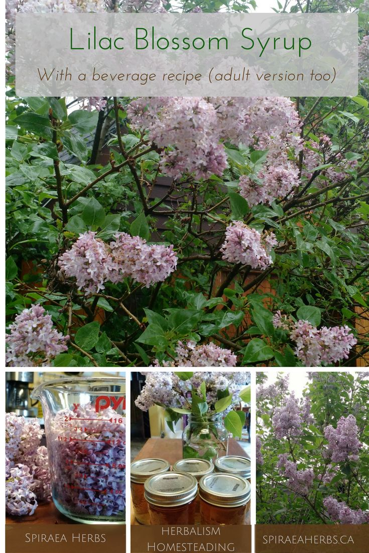 Lilac Blossom Syrup + Beverage Recipes (Adult version too) | Spiraea Herbs