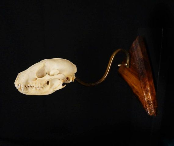 Raccoon Skull Wallhang