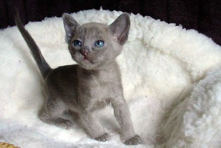 Burmese Kittens For Sale Westchester - #smallcat- See more stunning Burmese Cat Breeds at Catsincare.com!