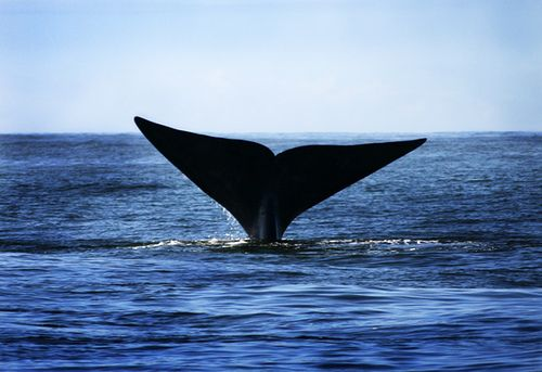 Southern Right Whale, in Hermanus