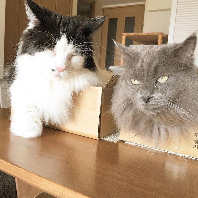 それぞれの寝方!ダンボラーズ兄弟は今日も健在!タボさんまた下痢気味〜毛玉かな。油分かな。気候かな。 💩 #猫好きさんと繋がりたい #ねこ #instagramcat #にゃんだふるらいふ #ニャンスタグラム #家猫 #cats #nebelung  #こしあんブルー #猫との暮らし #猫が好き #やっぱり猫が好き #ふわもこ部 #ねこもふ団 #ねこすたぐらむ #愛猫 #グレー猫男子部 #ねこちゃん #グレー猫部 #タボさん #ハチワレ #白黒猫 #しろくろねこ #はちわれ #タボみく #朝のタボみく #ダンボラーズ