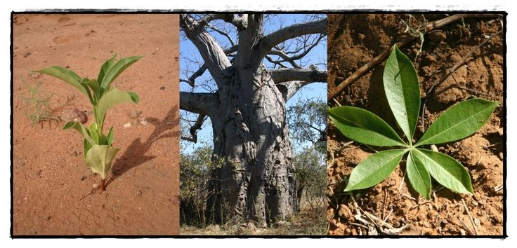 Baobabs are very difficult to kill, they can be burnt, or stripped of their bark, and they will just form new bark and carry on growing. When they do die, they simply rot from the inside and suddenly collapse, leaving a heap of fibres, which makes many people think that they don't die at all, but simply disappear! A Baby Baobab tree looks very different from its adult form and this is why the Bushmen believe that it doesn't grow like other trees.