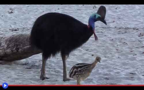 L'ombra del velociraptor che vive ancora È difficile talvolta interpretare la vera natura degli animali, e diventa ancora più difficile quando la creatura presa in considerazione, purtroppo, si è estinta da tempo. Vedi ad esempio ildromaeo #uccelli #australia #ratiti #belve