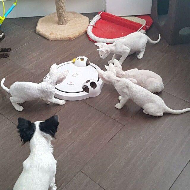 A new toy - study#девончик #девонрекс #белыекошки #девон_рекс #люблюнемогу #lovedevonrex #happypet #lovedevonrex #devonrexcats #devonrexkitten #devonrex #whitedevonrex #exclusive_devonrex #whitekittens
